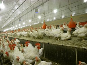 Coated floors for poultry farming